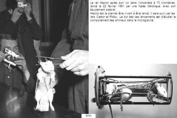 Le rat Hector après son vol dans l'ionoshère à 70 kilomètres, lancé le 22 février 1961 par une fusée Véronique, avec son équipement spécial. Hector es