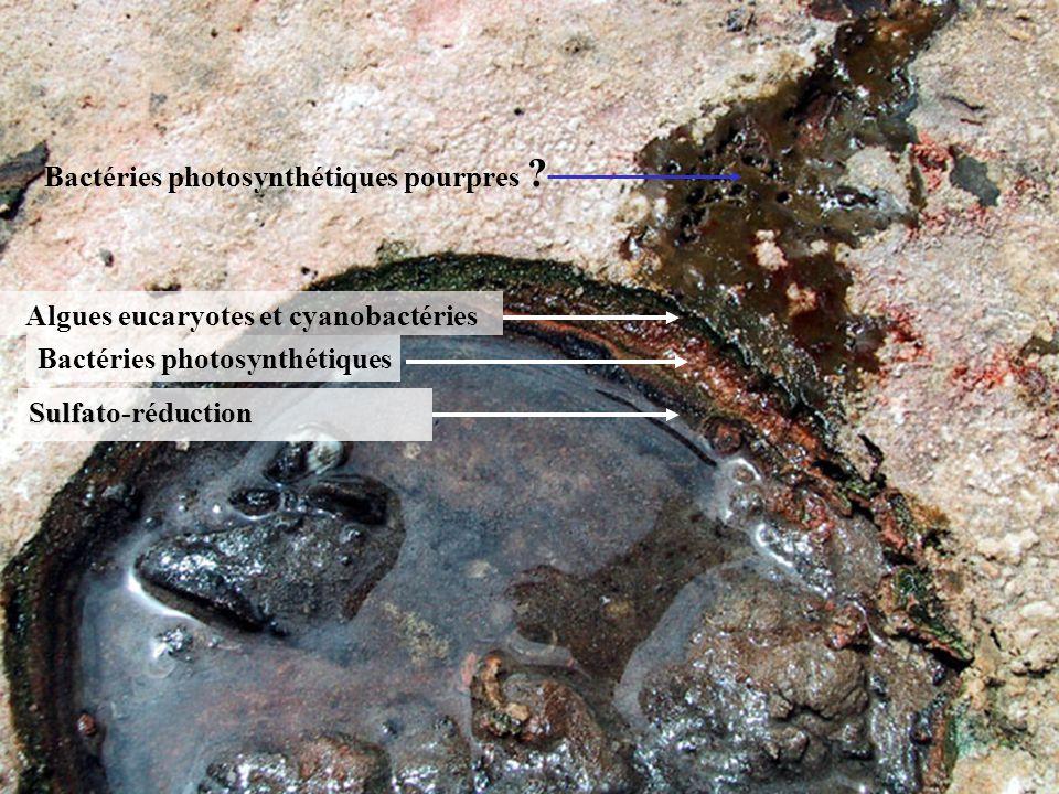 IFR 124 Etablir linfluence des pratiques polluantes sur les 3 sites témoins Bactéries photosynthétiques pourpres .