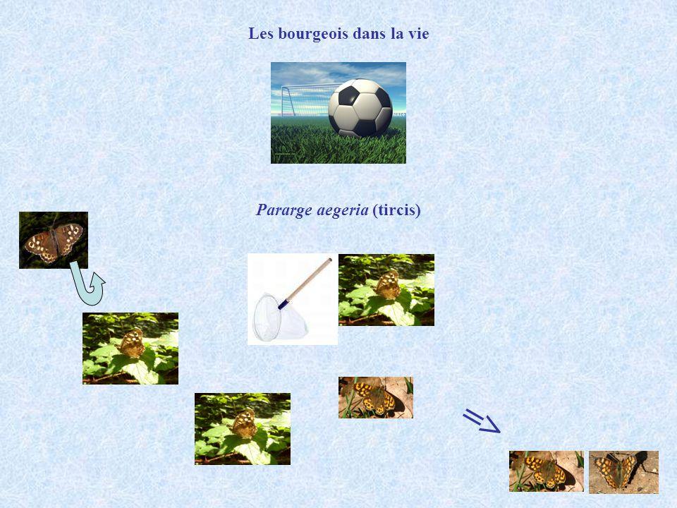 Pararge aegeria (tircis) Les bourgeois dans la vie =>