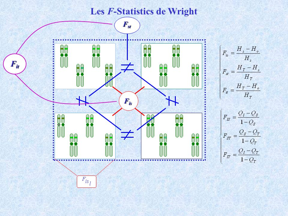 Les F-Statistics de Wright F is l F is F st F it
