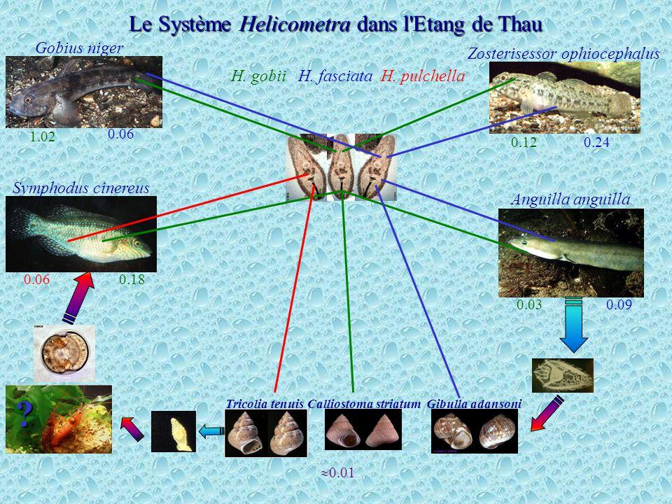 Gobius niger Zosterisessor ophiocephalus Symphodus cinereus Anguilla anguilla Le Système Helicometra dans l'Etang de Thau Tricolia tenuisGibulla adans