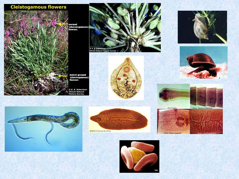 Métacercaires Leucochloridium paradoxum Œuf avec miracidium Succinea putris Turdidé Echinococcus multilocularis