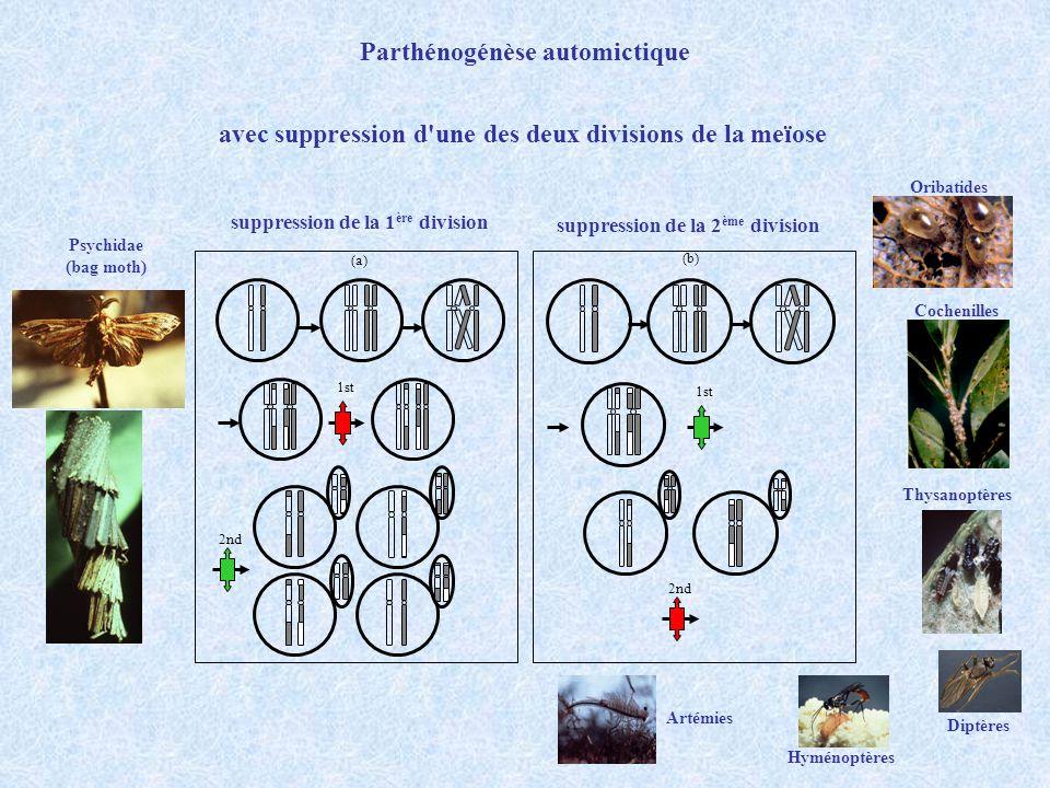 1st 2nd (a) 1st 2nd (b) Parthénogénèse automictique avec meïose complète endomitose finale fusions des globules polaires achiasmtiques