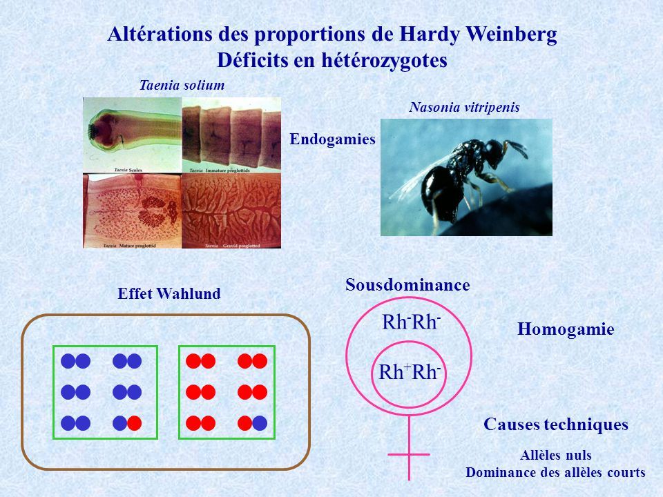 Altérations des proportions de Hardy Weinberg Déficits en hétérozygotes Effet Wahlund Taenia solium Nasonia vitripenis Endogamies Rh - Rh + Rh - Sousd
