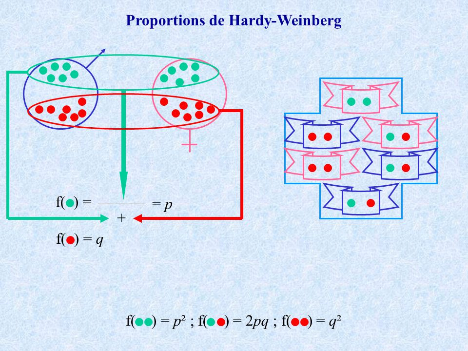 Pour plus dun locus: les désequilibres de liaison Deux loci 1 et 2 11 12 22 Locus 1 Locus 2 D 1 H 1 R 1 D 2 H 2 R 2 1p 1 1p 2 Gamètes ou haplotypes 1_1: p 1 p 2 +D t 1_2: p1(1-p 2 )-D t 2_1: (1-p 1 )p 2 -D t 2_2: (1-p 1 )(1-p 2 )+D t D t =p 1_1 -p 1 p 2 Au maximum D=[-0.25,+0.25] e.g.