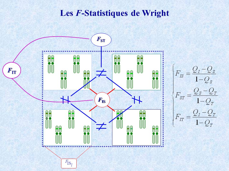 Les F-Statistiques de Wright F IS l F IS F ST F IT