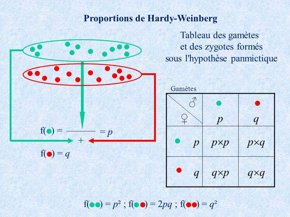f( ) = + = p f( ) = q Proportions de Hardy-Weinberg f( ) = p² ; f( ) = 2pq ; f( ) = q² pq p p p q q q pq Tableau des gamètes et des zygotes formés sous l hypothèse panmictique Gamètes