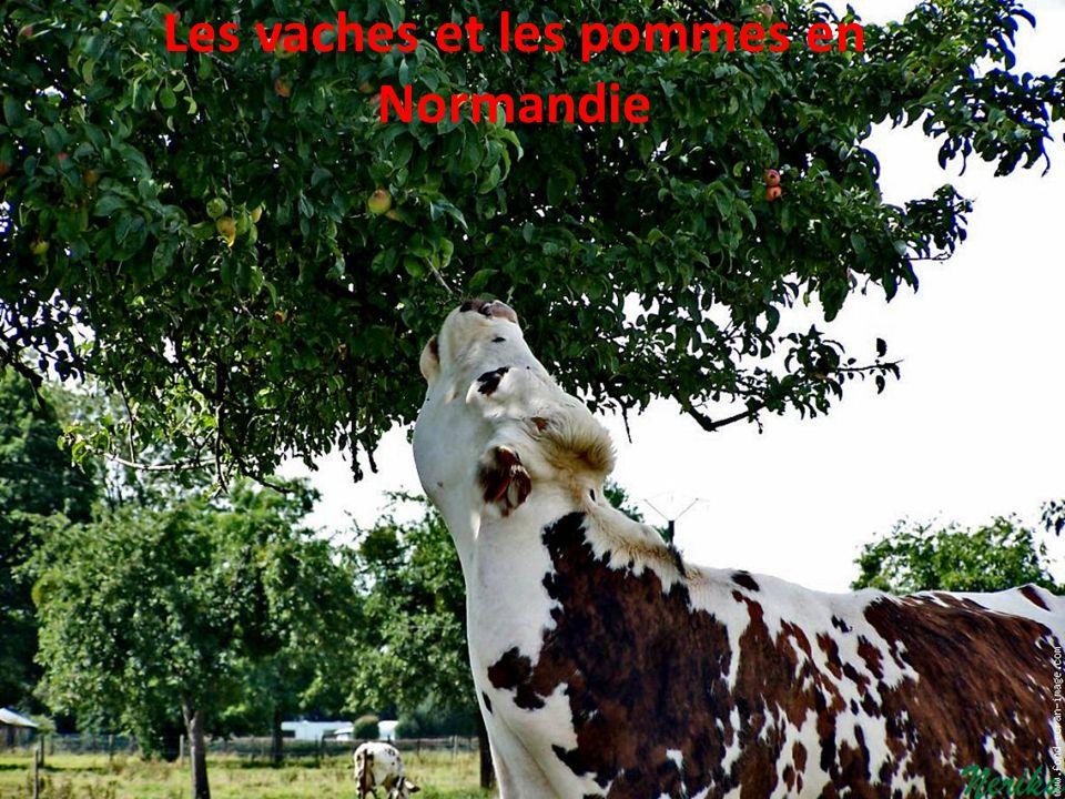 Les vaches et les pommes en Normandie