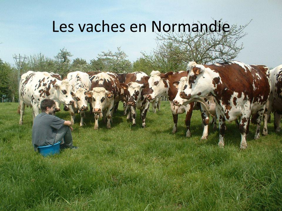 Les vaches en Normandie