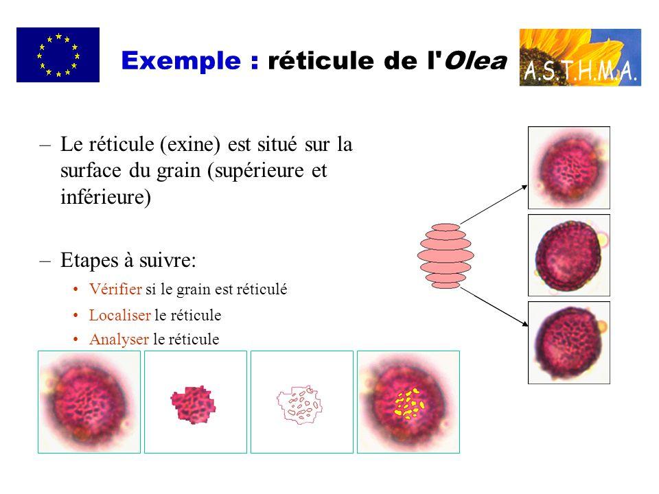 –Le réticule (exine) est situé sur la surface du grain (supérieure et inférieure) –Etapes à suivre: Vérifier si le grain est réticulé Localiser le réticule Analyser le réticule Exemple : réticule de l Olea