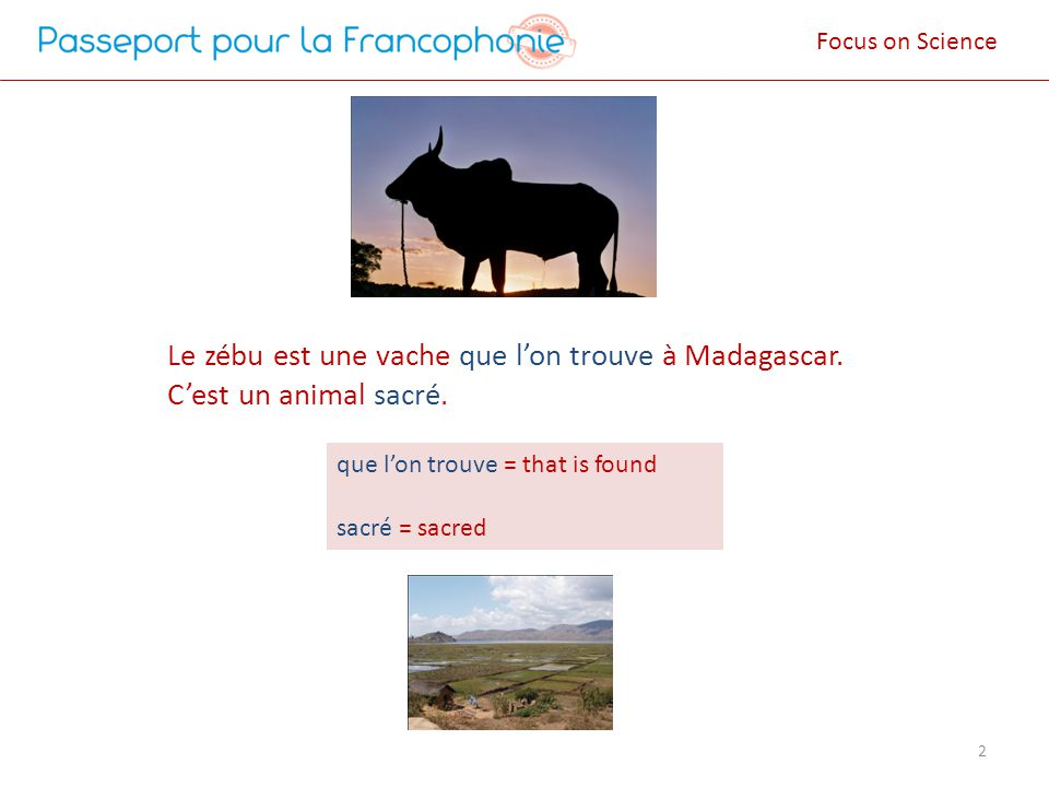 Le zébu est une vache que lon trouve à Madagascar. Cest un animal sacré. 2 que lon trouve = that is found sacré = sacred Focus on Science