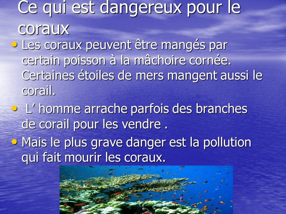Ce qui est dangereux pour le coraux Les coraux peuvent être mangés par certain poisson à la mâchoire cornée. Certaines étoiles de mers mangent aussi l