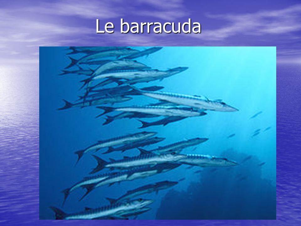Description physique Le grand barracuda est un poisson dassez grande taille.