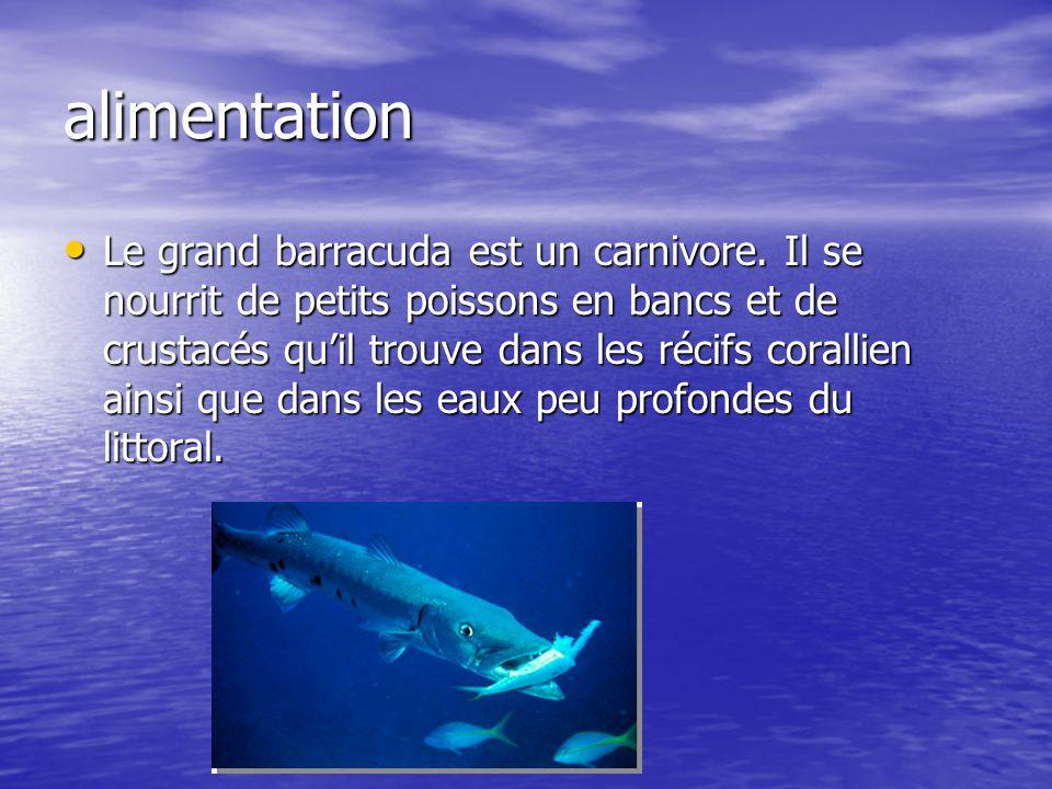 alimentation Le grand barracuda est un carnivore. Il se nourrit de petits poissons en bancs et de crustacés quil trouve dans les récifs corallien ains