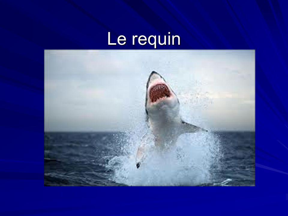 Description physique Le requin gris a un corps long et mince.
