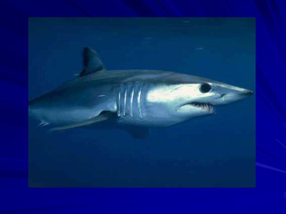 Alimentation Le requin gris chasse en groupe.