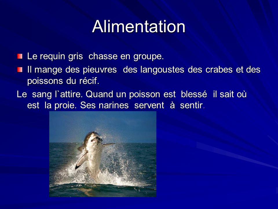 Alimentation Le requin gris chasse en groupe. Il mange des pieuvres des langoustes des crabes et des poissons du récif. Le sang l`attire. Quand un poi