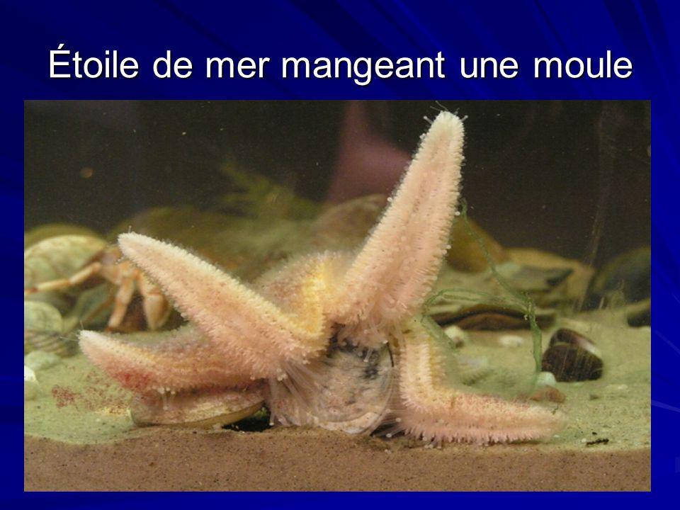 Étoile de mer mangeant une moule