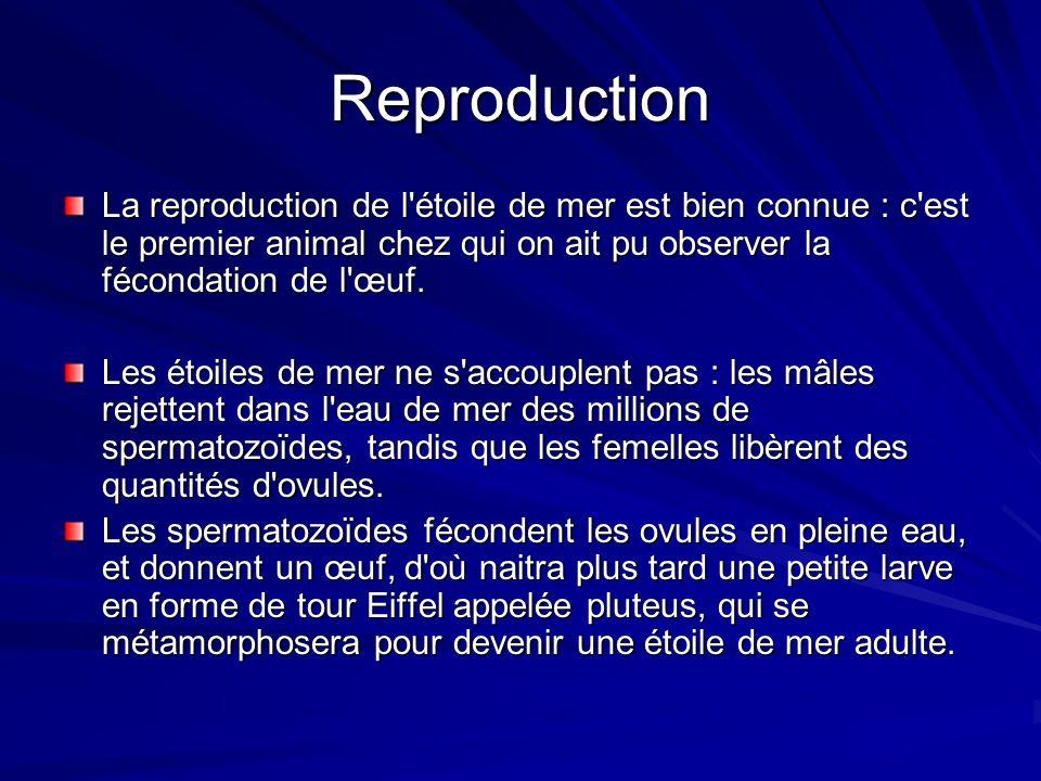 Reproduction La reproduction de l'étoile de mer est bien connue : c'est le premier animal chez qui on ait pu observer la fécondation de l'œuf. Les éto