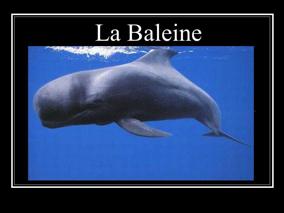 Description physique La baleine à bosse ou jubarte se reconnait à ses deux nageoires pectorales, qui mesurent 19 m de long la hauteur de 2 étages et 1,20 m de large son poids 48t.