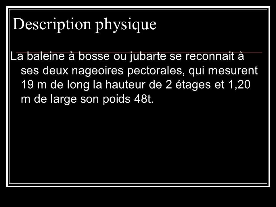 Description physique La baleine à bosse ou jubarte se reconnait à ses deux nageoires pectorales, qui mesurent 19 m de long la hauteur de 2 étages et 1