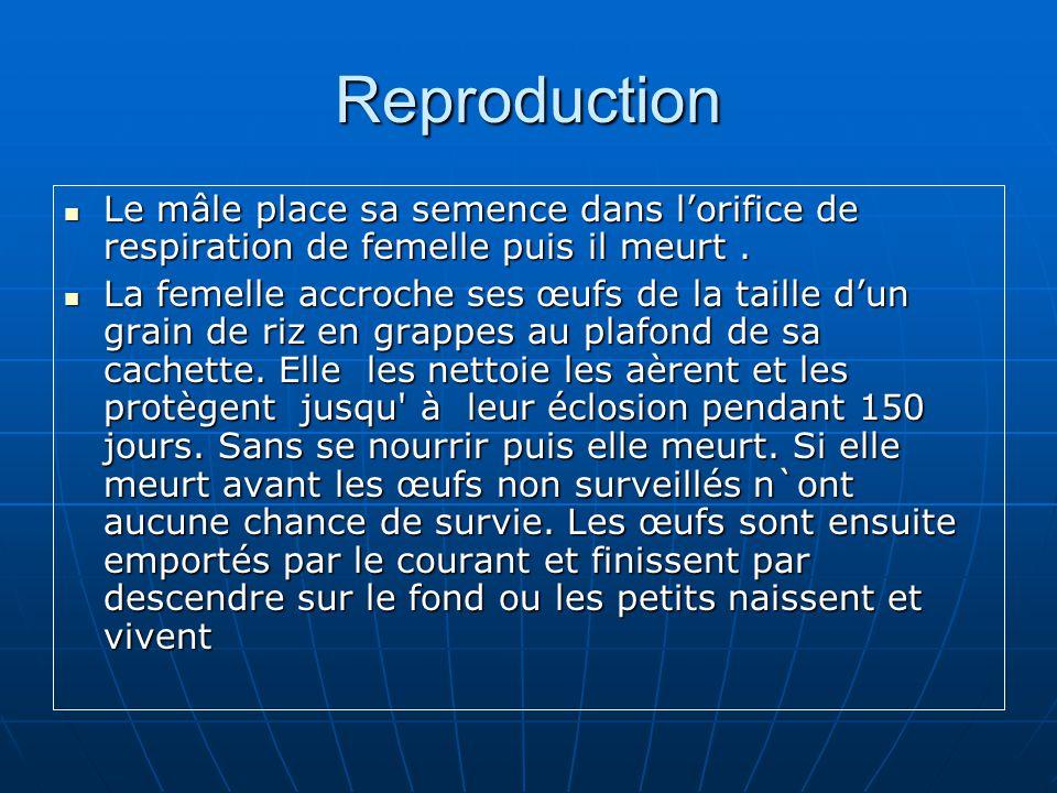 Reproduction Le mâle place sa semence dans lorifice de respiration de femelle puis il meurt. Le mâle place sa semence dans lorifice de respiration de