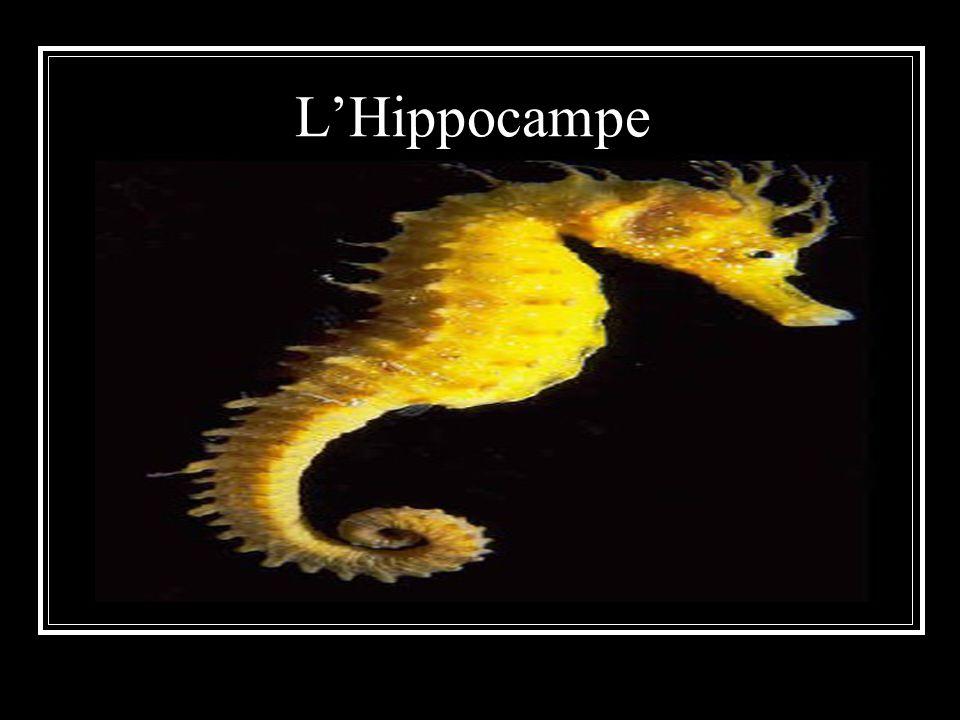 LHippocampe