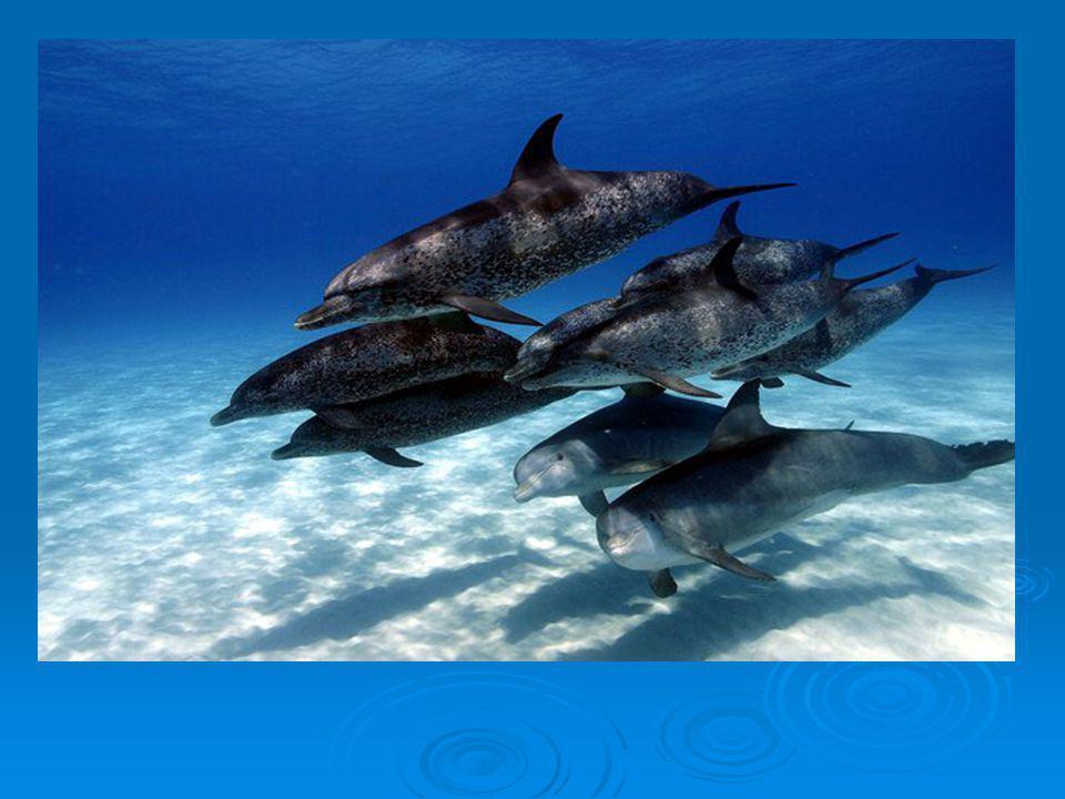 Mode de vie Ils peuvent plonger jusqu`à 6oo m de profondeur.