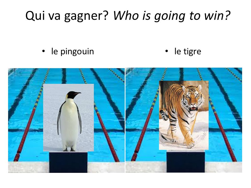 le pingouin le tigre Qui va gagner Who is going to win