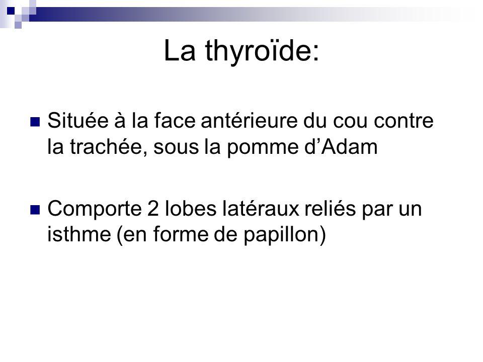 La thyroïde: Située à la face antérieure du cou contre la trachée, sous la pomme dAdam Comporte 2 lobes latéraux reliés par un isthme (en forme de pap