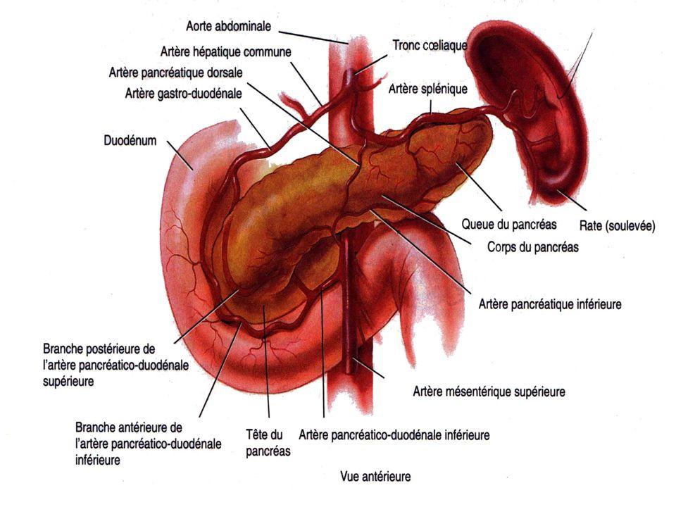 Le pancréas: Situé dans labdomen Cest un annexe du tube digestif