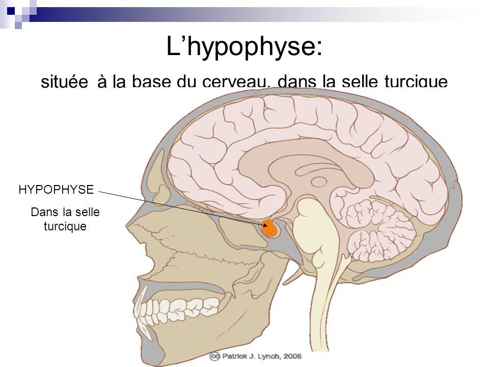 Lhypophyse: située à la base du cerveau, dans la selle turcique HYPOPHYSE Dans la selle turcique