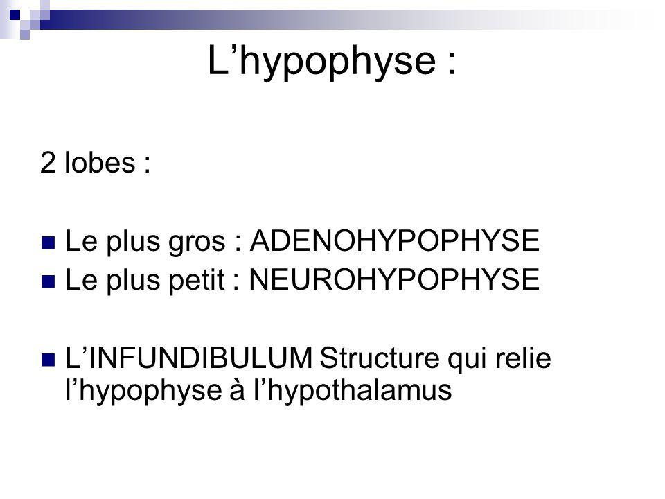 Lhypophyse : 2 lobes : Le plus gros : ADENOHYPOPHYSE Le plus petit : NEUROHYPOPHYSE LINFUNDIBULUM Structure qui relie lhypophyse à lhypothalamus