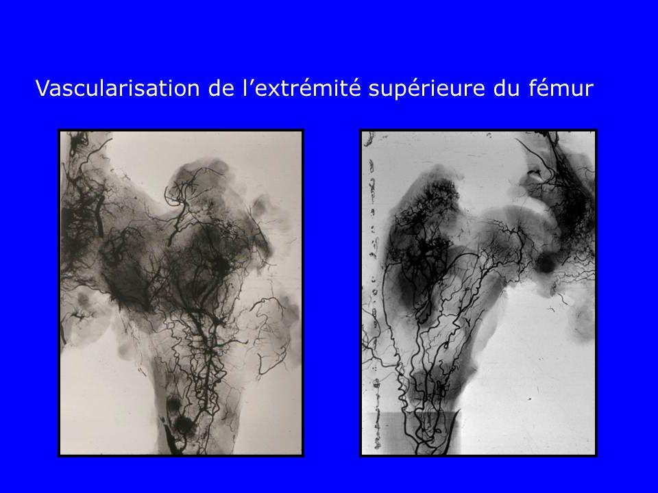 Vascularisation de lextrémité supérieure du fémur