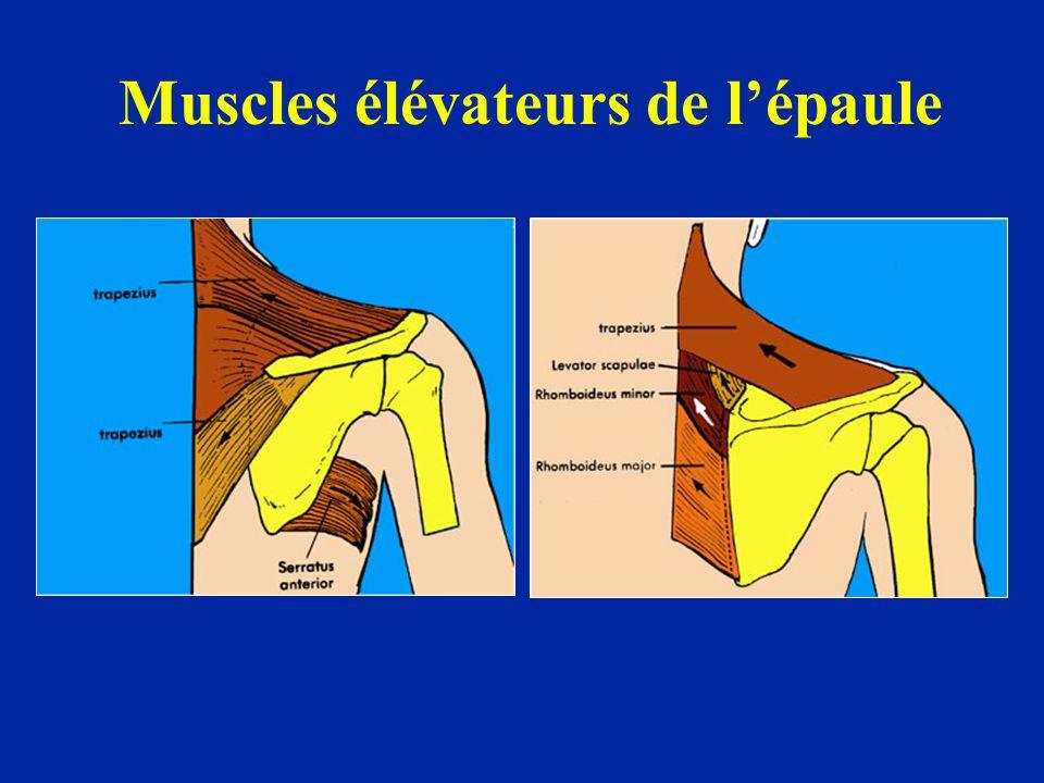 Muscles élévateurs de lépaule