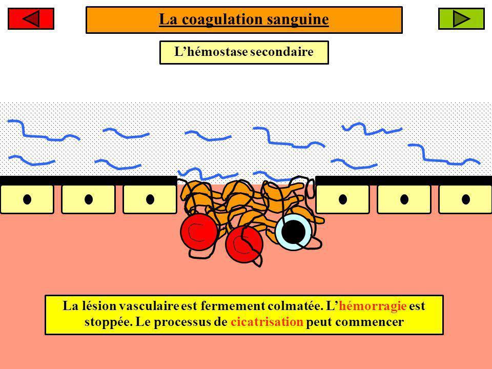 La coagulation sanguine Lhémostase secondaire La lésion vasculaire est fermement colmatée.