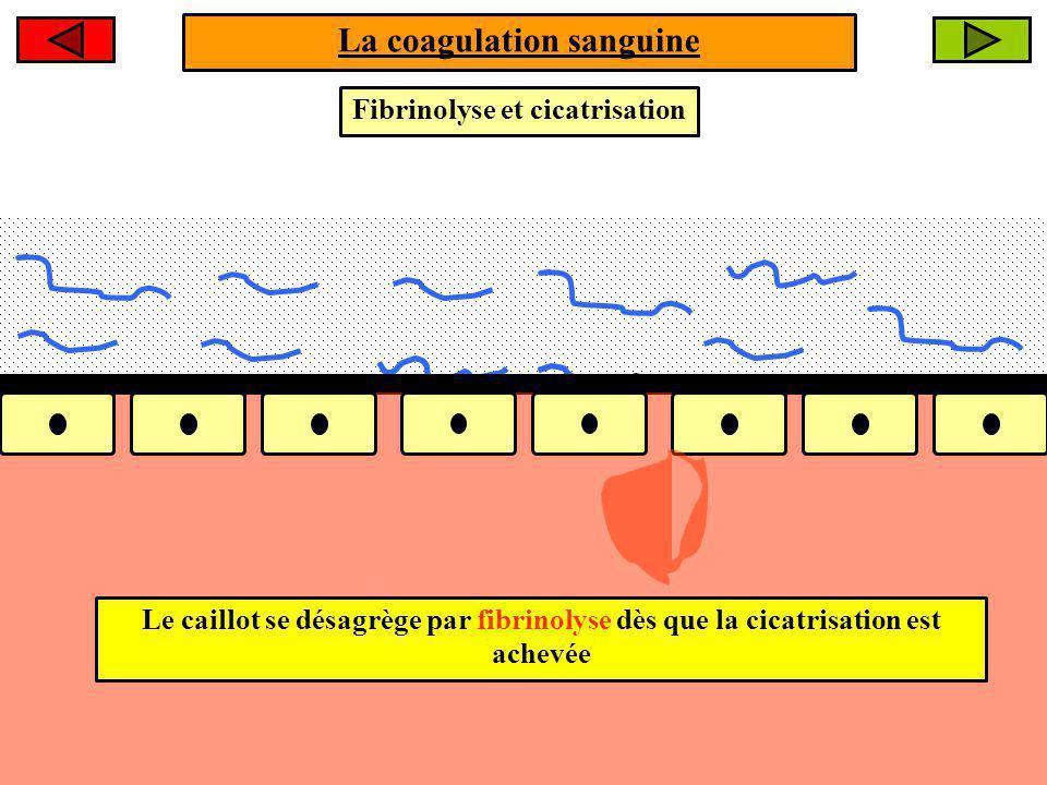 La coagulation sanguine Fibrinolyse et cicatrisation Le caillot se désagrège par fibrinolyse dès que la cicatrisation est achevée
