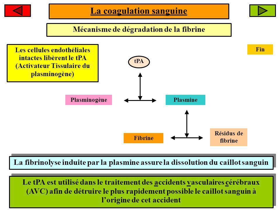 tPA La coagulation sanguine Mécanisme de dégradation de la fibrine Les cellules endothéliales intactes libèrent le tPA (Activateur Tissulaire du plasminogène) PlasminogènePlasmine Fibrine Résidus de fibrine La fibrinolyse induite par la plasmine assure la dissolution du caillot sanguin Le tPA est utilisé dans le traitement des accidents vasculaires cérébraux (AVC) afin de détruire le plus rapidement possible le caillot sanguin à lorigine de cet accident Fin