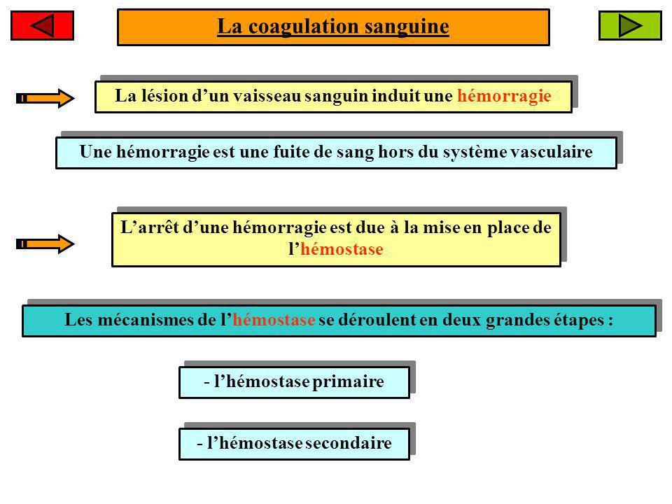 La lésion dun vaisseau sanguin induit une hémorragie Une hémorragie est une fuite de sang hors du système vasculaire Larrêt dune hémorragie est due à la mise en place de lhémostase Les mécanismes de lhémostase se déroulent en deux grandes étapes : - lhémostase secondaire - lhémostase primaire