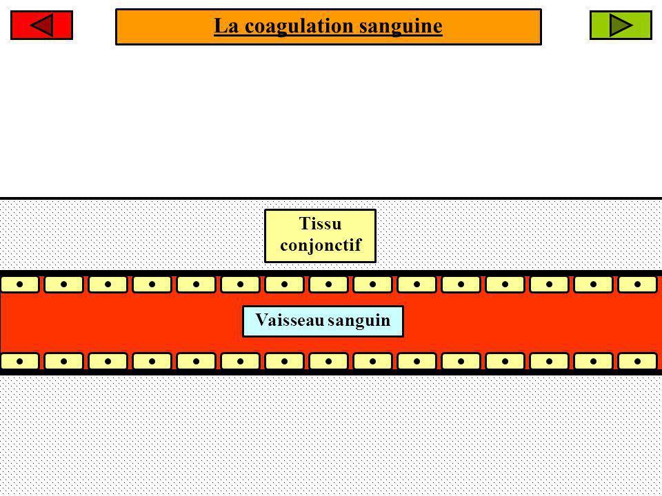 La coagulation sanguine Lendothélium vasculaire est intact.