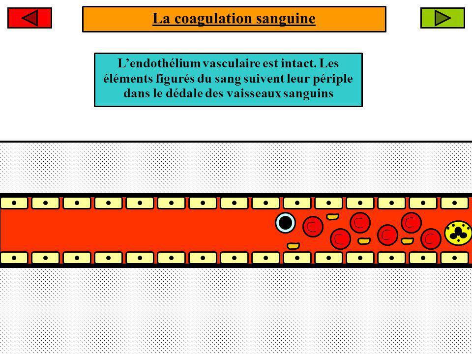 Lésion cutanée La coagulation sanguine La lésion induit une HEMORRAGIE suite à latteinte de lendothélium vasculaire