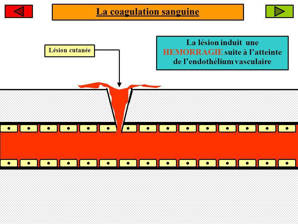 La coagulation sanguine Étape 1 : La lésion du vaisseau sanguin induit des spasmes vasculaires cest à dire une VASOCONSTRICTION Lhémostase primaire Le débit sanguin diminue.