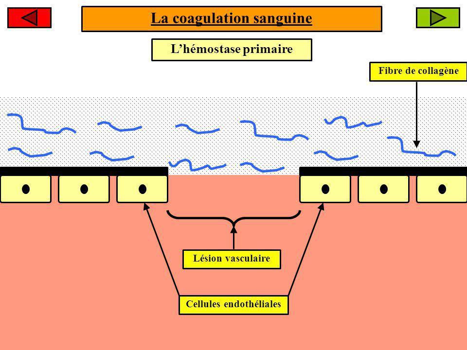 La coagulation sanguine Fibre de collagène Lhémostase primaire Cellules endothéliales Lésion vasculaire