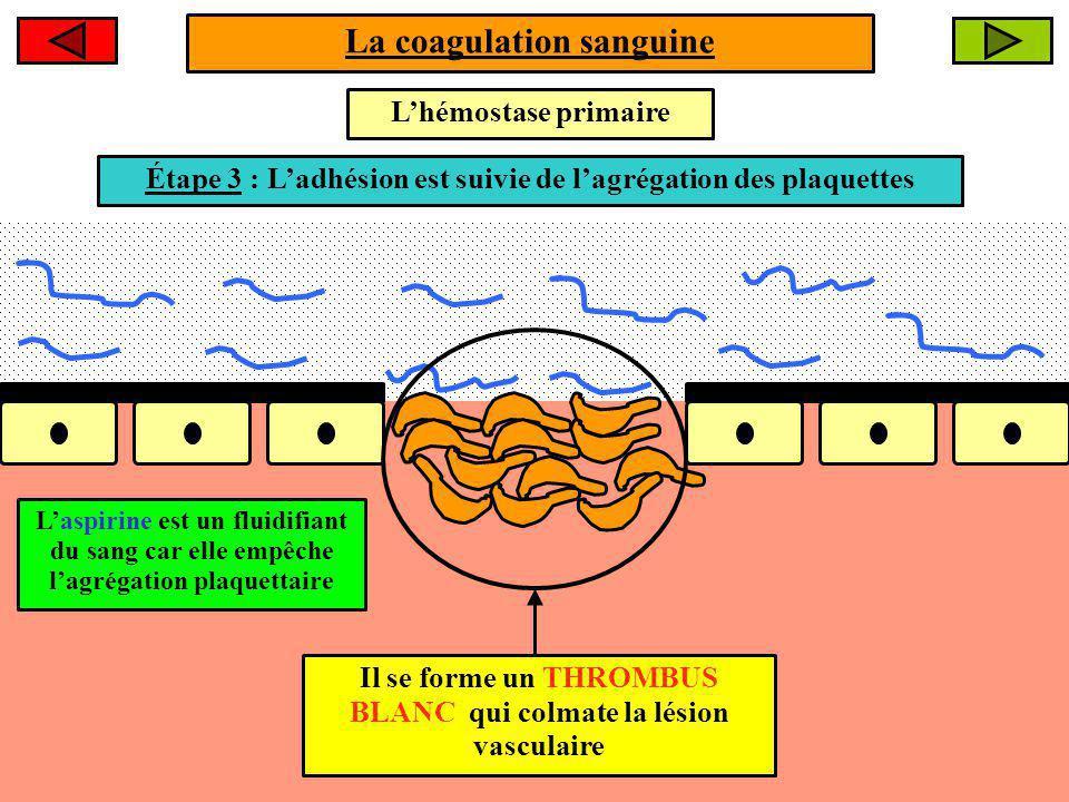 La coagulation sanguine Lhémostase primaire Étape 2 : Les plaquettes adhèrent au collagène sous-endothélialÉtape 3 : Ladhésion est suivie de lagrégation des plaquettes Il se forme un THROMBUS BLANC qui colmate la lésion vasculaire Laspirine est un fluidifiant du sang car elle empêche lagrégation plaquettaire