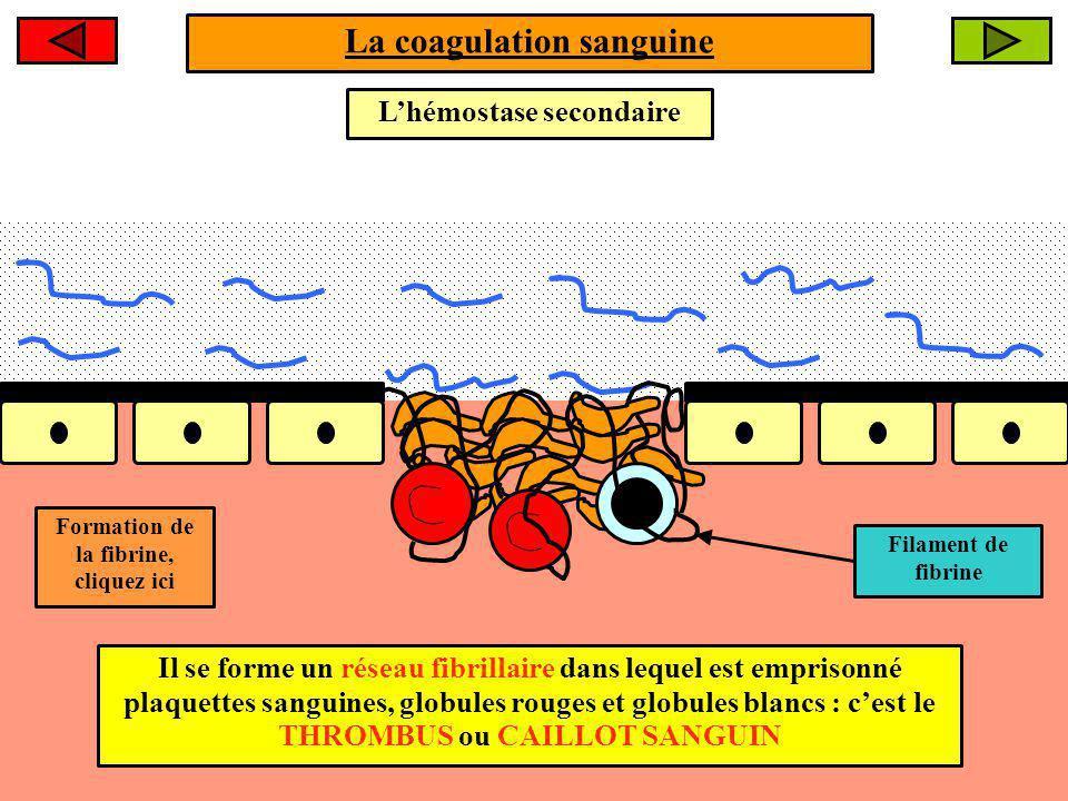 La coagulation sanguine Mécanisme dactivation de la fibrine hépatiqueplaquettaire La formation de la FIBRINE résulte dune cascade de réactions enzymatiques faisant intervenir des facteurs de coagulations plasmatiques dorigine hépatique et plaquettaire.