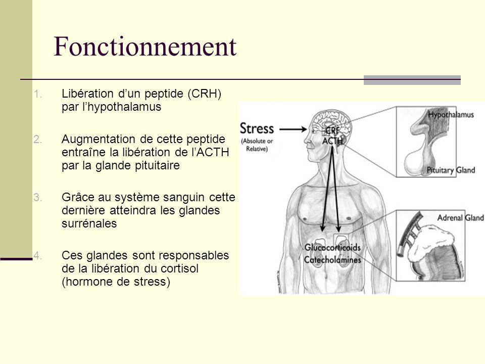 Fonctionnement 1. Libération dun peptide (CRH) par lhypothalamus 2. Augmentation de cette peptide entraîne la libération de lACTH par la glande pituit