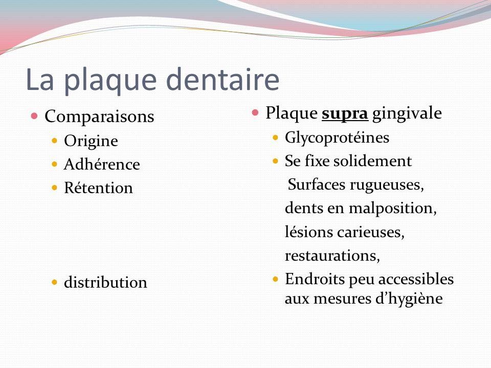 La plaque dentaire: Localisation distribution Plaque supra gingivale Aérobique Accessible au brossage Invisible à lœil nu Absente des cuspides Commenc