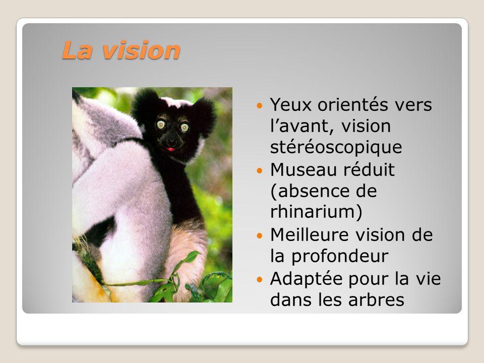 La vision Yeux orientés vers lavant, vision stéréoscopique Museau réduit (absence de rhinarium) Meilleure vision de la profondeur Adaptée pour la vie dans les arbres