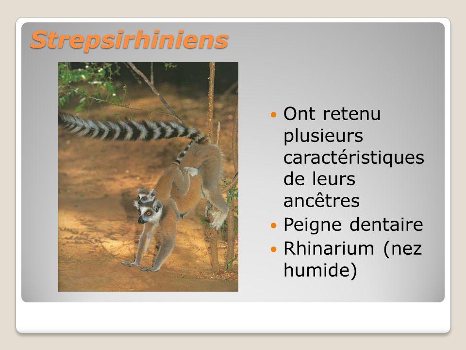 Strepsirhiniens Ont retenu plusieurs caractéristiques de leurs ancêtres Peigne dentaire Rhinarium (nez humide)