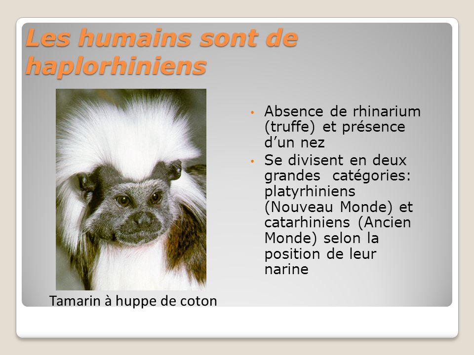 Les humains sont de haplorhiniens Absence de rhinarium (truffe) et présence dun nez Se divisent en deux grandes catégories: platyrhiniens (Nouveau Monde) et catarhiniens (Ancien Monde) selon la position de leur narine Tamarin à huppe de coton